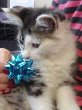 Kittens - cute, cuddly, ready for adoption today Silverdale Wollondilly Area Preview