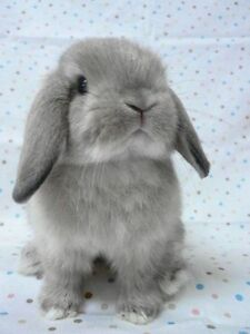 Baby Holland Lop Bunny Wanted