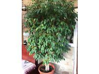Stunning mature weeping fig/ficus tree