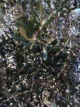 Black olives for pickling-you pick Rockingham Rockingham Area Preview