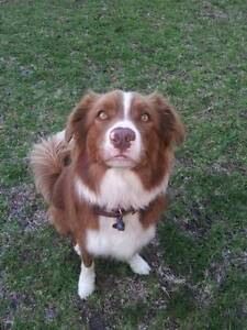 Pure Bread Chocolate Border Collie Male Dundowran Fraser Coast Preview