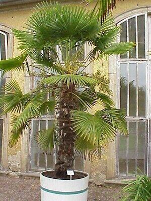FAN PALM TREE*100 SEEDS*HARDY TO-10 degrees f. Trachycarpus fortunei. EZ TO GROW](Palm Fans)