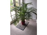 Large indoor palm plant