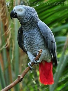 * WANTED * African Grey Parrot