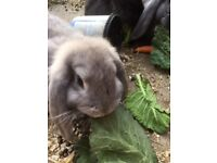 FRENCH LOP BUNNIES, READY TO LEAVE NOW