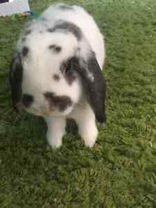 Sweet Holland Lop looking for home