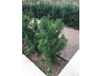 60 Beautiful yew hedging plants approx 2ft tall high quality no longer required