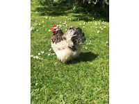 Millefleur Hen 16months, 2 chicks 7 weeks