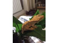 10 month old Female crested gecko with Viv