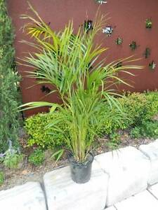 Golden Cane Palms Ipswich Ipswich City Preview