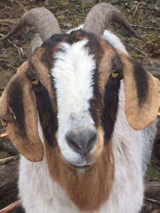 Dairy goats for sale