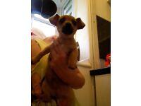 Tiny Cheweenie puppy Chihuahua X Dachshund