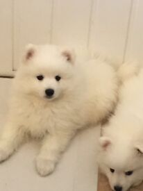 Japanese Spitz Puppies. K.C. Reg. Vet health checked. Micro chipped and vaccinated