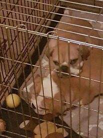 2 x male English bulldogs (Donald trump is dad) ready for their new forever homes now.