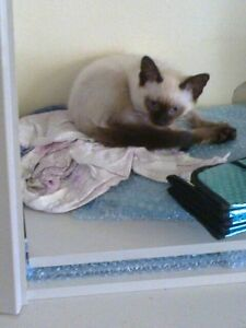 Siamese Male Kitten Karuah Port Stephens Area Preview