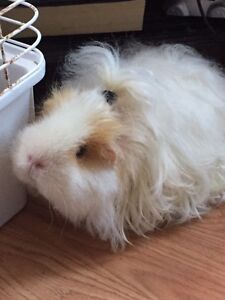 Looking for a female guinea pig