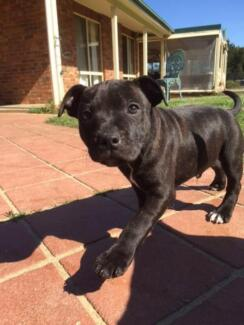 Pure English Staffy puppies (no papers) 4 x  male black/brindle Wamboin Queanbeyan Area Preview