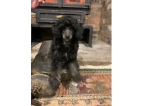 Kennel club registered Toy Poodle male puppy