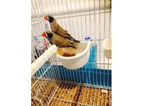 young(males+females) zebra finches