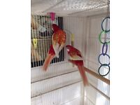 rosellas for sale very pretty birds,reluctant sale