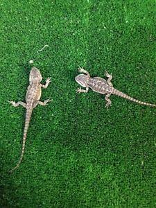 Central Bearded Dragons - Juvenile Mentone Kingston Area Preview