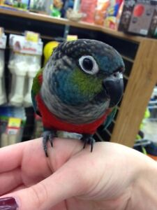 Conure | Adopt Local Birds in Hamilton | Kijiji Classifieds