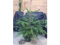 Christmas tree (Nordman Fir) in pot. Collect from Fulham