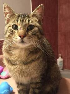 KLAWS: FOUND Kenrei Rd/Angeline St N,Lindsay friendly tabby
