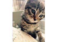 Tabby Kittens 8 weeks old ( boys)