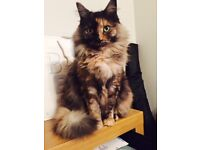 Missing Tortoiseshell Cat
