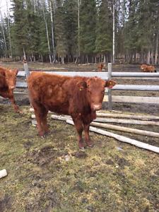 3 yearling open heifers