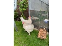 Selling egg laying chickens