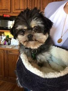 "Adult Male Dog - Yorkshire Terrier Yorkie-Maltese: ""Max"""