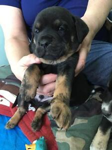 Paws for Love dog rescue has a 8 week mix breed pup for adoption