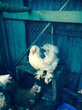 Silkie chickens for sale Coburg Moreland Area Preview