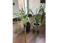 2 Spider Plants in Ceramic Pots. Collect Fulham