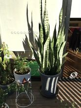 Snake Plant For Sale (Can be grown indoors or outdoors) Alexandria Inner Sydney Preview
