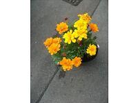 A calendula or marigold plant