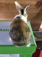 Rabbits for sale with and with out papers