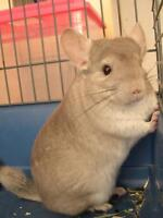 Hetero Beige Chinchilla For Sale With Cage and Supplies