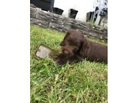 **Ready now stunning F1 Cockapoo puppies**