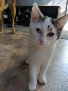 "Young Female Cat - Domestic Short Hair: ""Agnes"""