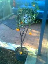 MANDARIN TREE IMPERIAL LAST 1 Bayswater Bayswater Area Preview