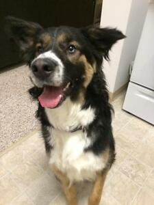 "Adult Male Dog - Bernese Mountain Dog-Husky: ""Bernie"""