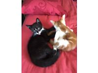 KITTENS 1 ginger and white boy, 1 black and white girl