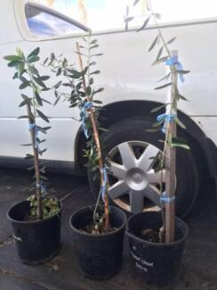 Olive trees from $15.00 each