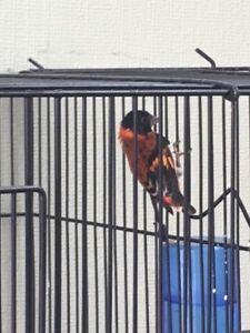 Male Red Siskin for Sale
