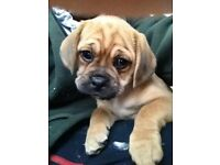 pug x beagle (puggle pups boys and girls available )