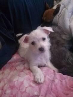 Maltese X Australian Terrier Male Bidwill Blacktown Area Preview