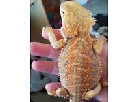 For Sale Baby Bearded Dragon With Viv